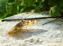 Butterfly, Phaestos